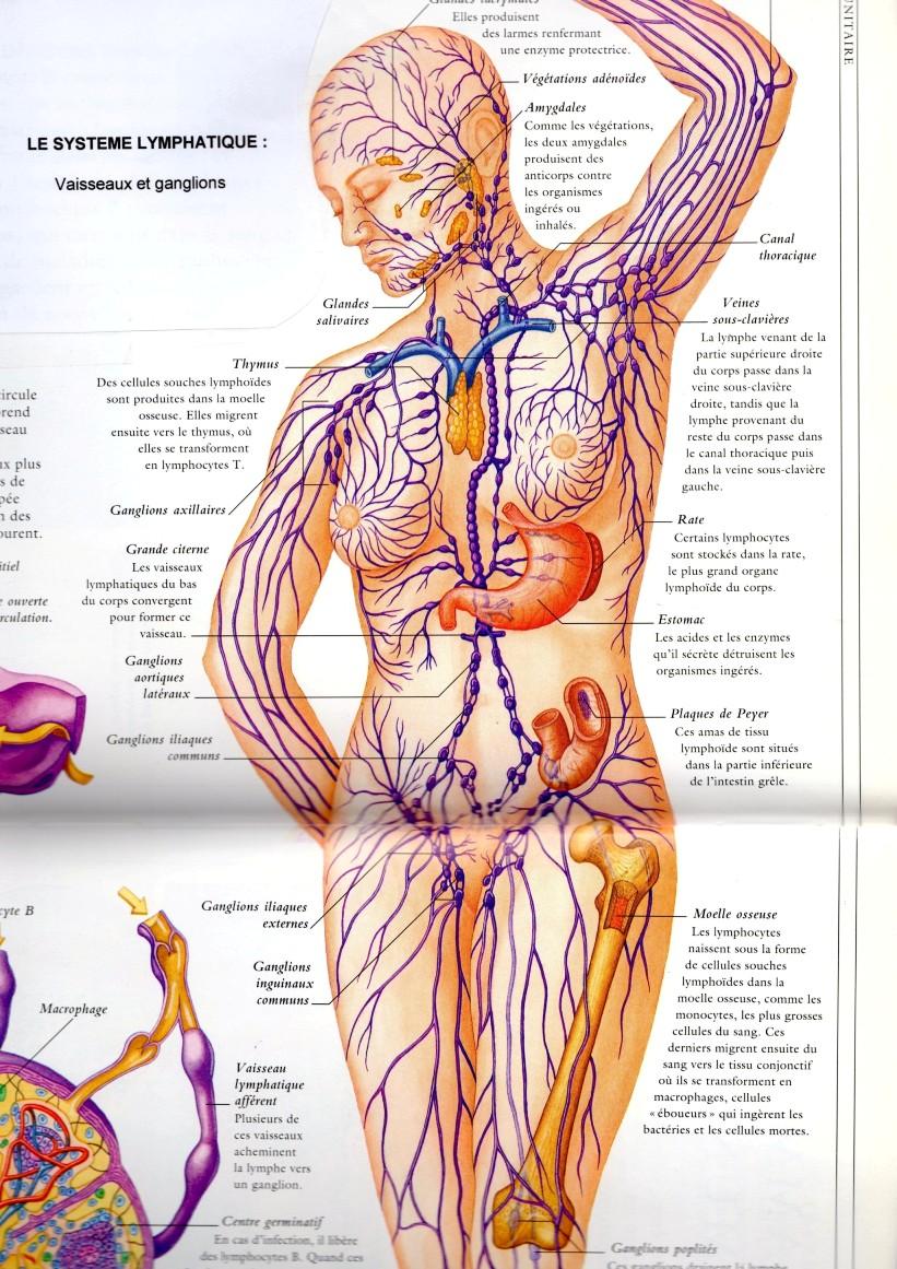 Ganglions lymphatiques tissu mammaire
